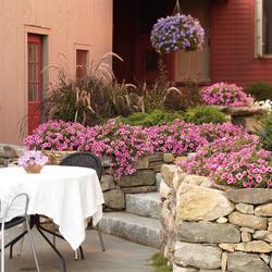 Supertunia Trailing Strawberry Pink Veined Petunia, Graceful Grasses Purple Fountain Grass, Lime Light Hydrangea, Tiny Wine Ninebark, Fine Line Fern Leaf Buckthorn