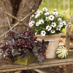 Soprano White African Daisy, Blackberry Ice Coral Bells