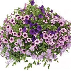 Supertunia Bordeaux Petunia, Supertunia Royal Velvet Petunia, Superbena Large Lilac Blue Verbena