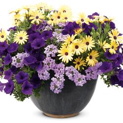 Lemon Symphony African Daisy, Supertunia Royal Velvet Petunia, Superbena Large Lilac Blue Verbena