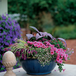 Supertunia Trailing Strawberry Pink Veined Petunia, Persian Shield, Snowstorm Blue Bacopa, Ogon Grassy-Leaved Sweet Flag