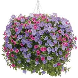 Supertunia Trailing Rose Veined Petunia, Surfinia Sky Blue Petunia