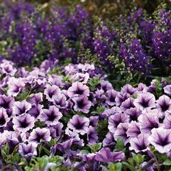 Supertunia Bordeaux Petunia