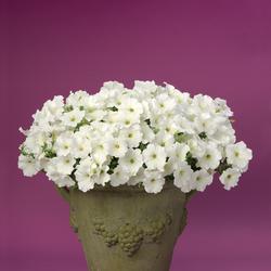 Supertunia White Petunia, in bloom