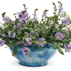 Whirlwind Blue Fan Flower, in bloom
