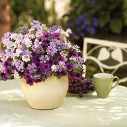 Superbells Plum Calibrachoa, Superbena Large Lilac Blue Verbena