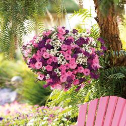 Supertunia Vista Bubblegum Petunia, Superbena Royale Plum Wine Verbena, Sunsatia Coconut Nemesia