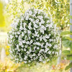 Supertunia Trailing Silver Petunia, in bloom