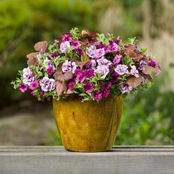 Hollywood & Vine: Superbells Plum Calibrachoa, Sweet Caroline Sweetheart Red, Supertunia Priscilla Petunia