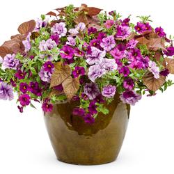 Avalon Plum: Superbells Plum Calibrachoa, Sweet Caroline Sweetheart Red, Supertunia Priscilla Petunia