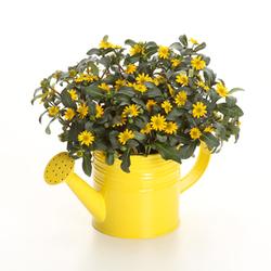 Sunbini Creeping Zinnia, in bloom