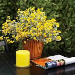 Flambe Yellow Strawflower, in bloom