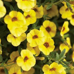 Superbells Saffron Calibrachoa, in bloom