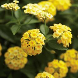 Flowers of Luscious Lemonade Lantana