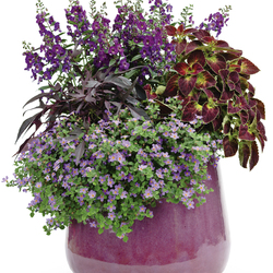 Angelface Blue Summer Snapdragon, Illusion Midnight Lace Sweet Potato, ColorBlaze Dipt in Wine Coleus, Snowstorm Blue Bacopa