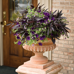 Miss Lilac Superbells Petunia, Illusion Midnight Lace Sweet Potato, Supertunia Royal Velvet Petunia