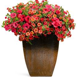 Sweet Nectar: Superbells Tangerine Punch Calibrachoa, Luscious Citrus Blend Lantana, Supertunia Really Red Petunia