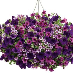 Miss Lilac Superbells Petunia, Superbells Plum Calibrachoa, Supertunia Royal Velvet Petunia