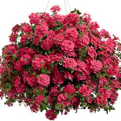 Superbena Coral Red Verbena