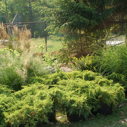Karl Foerster Feather Reed Grass, Gracillimus Maiden Grass, Daub's Frosted Juniper, Everlow Yew, Prairie Dropseed