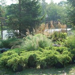 Karl Foerster Feather Reed Grass, Prairie Dropseed, Gracillimus Maiden Grass, Daub's Frosted Juniper, Green Mountain Boxwood
