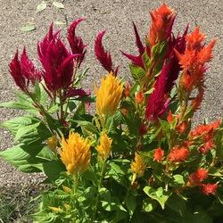 Fresh Look Mix Celosia, in bloom