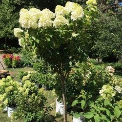 Tree Form Lime Light Hydrangea, in bloom
