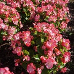 Super Cool Bicolor Begonia, in bloom