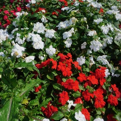 Beacon Red/White Mix Impatiens, in bloom