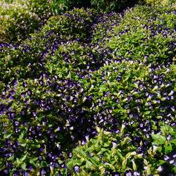 Kauai Deep Blue Wishbone Flower, in bloom