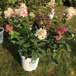 Fire Light Hardy Hydrangea, in bloom