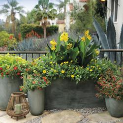 Rockin Golden Delicious Pineapple Sage, Vermillionaire Firecracker Plant, Luscious Citrus Blend Lantana, Lady Godiva Yellow Marigold, Toucan Yellow Canna Lily
