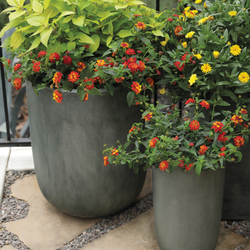 Lady Godiva Yellow Marigold, Luscious Citrus Blend Lantana, Rockin Golden Delicious Pineapple Sage
