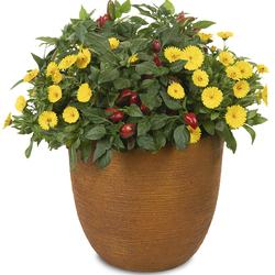 Sun Rays: Lady Godiva Yellow Marigold, Fire Away Hot And Heavy Pepper