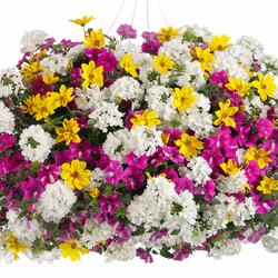 Goldilocks Rocks Bidens, Supertunia Raspberry Rush Petunia, Superbena Whiteout Verbena
