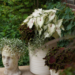 Heart To Heart White Wonder Elephant Ear, ColorBlaze Wicked Witch Coleus, Silver Falls Dichondra