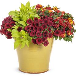 Against The Sun: Supertunia Black Cherry, Luscious Royal Red Zone Lantana, Sweet Caroline Light Green Sweet Potato