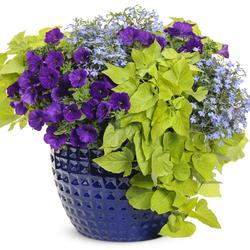 Blue Blast: Margarita Sweet Potato Vine, Laguna Sky Blue Lobelia, Supertunia Royal Velvet Petunia