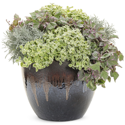 Icicles Licorice Plant, Variegated Helichrysum, Proven Accents Tricolor Sweet Potato Vine