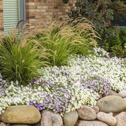 Sky Rocket Fountain Grass, Supertunia Mini Vista White Petunia, Supertunia Mini Vista Indigo Petunia, Mini Vista Violet Star Petunia