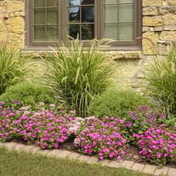 Sky Rocket Fountain Grass, Mojave Fuchsia Purslane, Sunstar Pink Egyptian Star Flower, Sunstar Lavender Egyptian Star Flower
