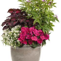 Senorita Rosalita Spider Flower, Colorblaze Torchlight Coleus, Diamond Snow Spurge, Sunpatiens Compact Royal Magenta