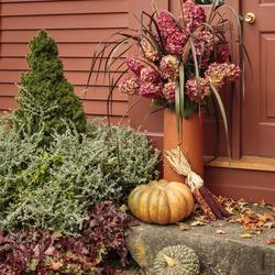 Fire Light Hardy Hydrangea, Vertigo Grass, Graceful Grasses Purple Fountain Grass