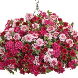 Superbells Pomegranate Punch, Superbena Sparkling Rose Verbena, Superbena Raspberry Verbena