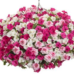 Supertunia Vista Fuchsia, Superbena Sparkling Rose Verbena, Supertunia Mini Vista White Petunia