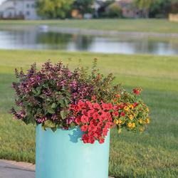 Supertunia Really Red Petunia, Rockin' Fuchsia Salvia, Luscious Berry Blend Lantana, Vermillionaire Firecracker Plant