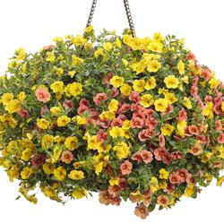 Superbells Coralina Calibrachoa, Superbells Yellow Petunia