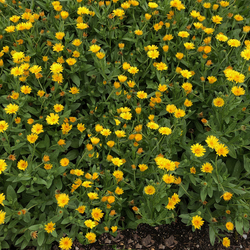 Lady Godiva Yellow Marigold, in bloom