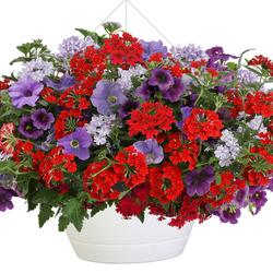 Superbena Red Verbena, Superbena Stormburst Verbena, Superbells Grape Punch Calibrachoa, Surfinia Heavenly Blue Petunia