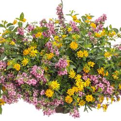 Luscious Goldengate Lantana, High Noon Bush Daisy, Angelface Cascade Pink Summer Snapdragon